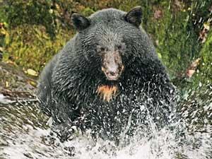 alaskafun-bear